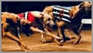 Racing Greyhound.